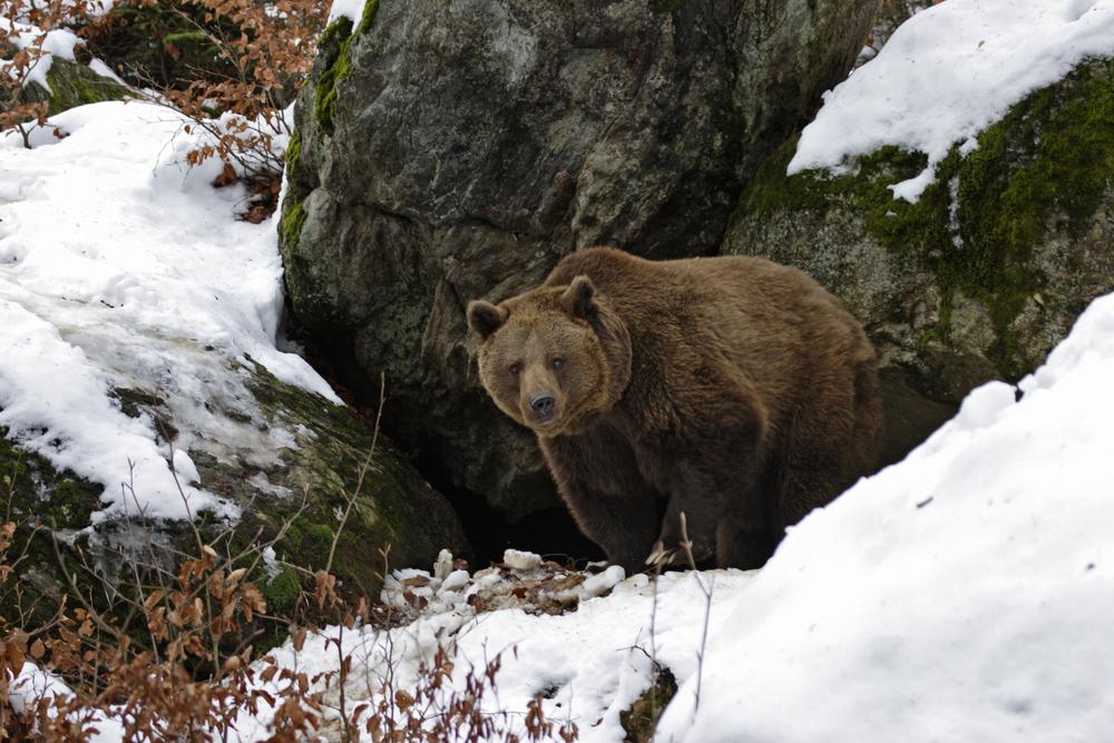 Медведи вышли из спячки на месяц раньше из-за теплой зимы