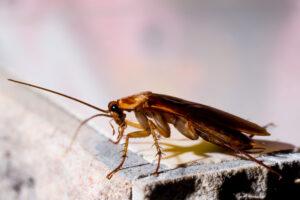 Какие тараканы могут летать?