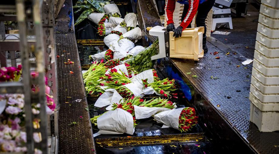 В Нидерландах из-за падения спроса уничтожают тысячи цветов