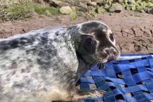 В Англии детеныша тюленя нашли в 24 км от моря