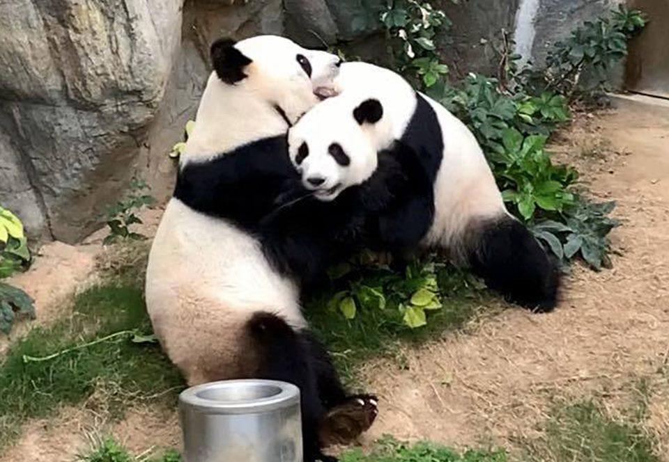 В зоопарке Гонконга панды спарились благодаря карантину