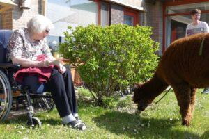 В Нидерландах альпака приходят в гости к пенсионерам
