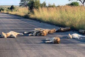 Львы вздремнули на опустевшей дороге: фото