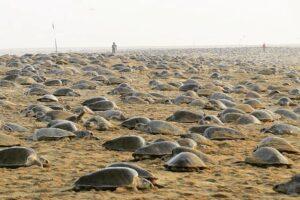 На опустевших пляжах Индии черепахи отложили 60 миллионов яиц