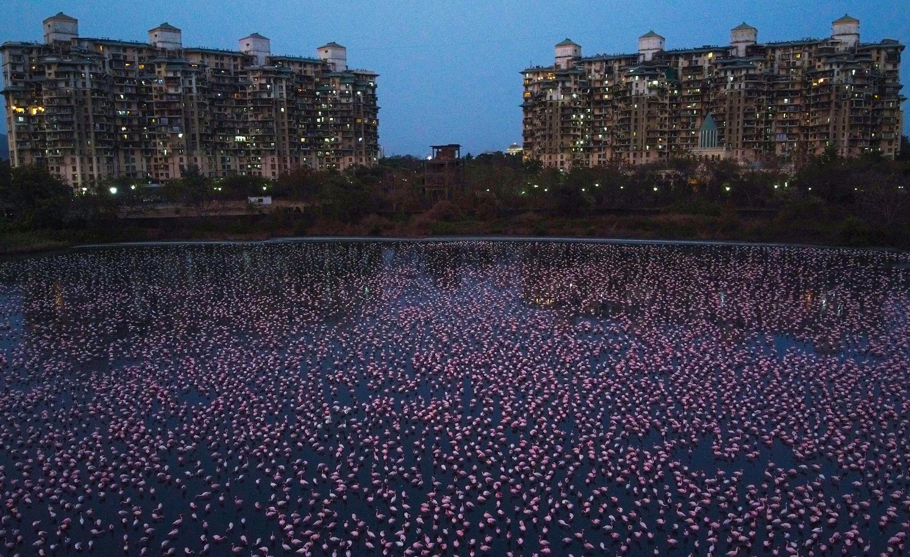 В индийском городе собрались 150 тысяч розовых фламинго