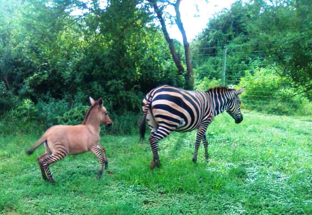 В кенийском национальном парке родилось редкое животное - зонки
