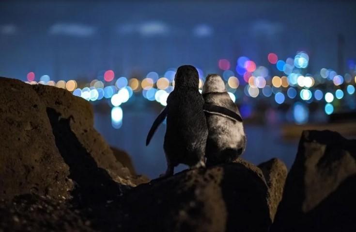 Пара овдовевших пингвинов обнялась на фоне Мельбурна