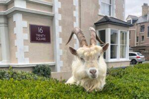 В Великобритании горные козлы захватили город на карантине