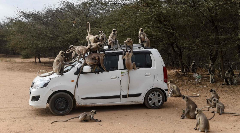 Индийские города заполонили животные