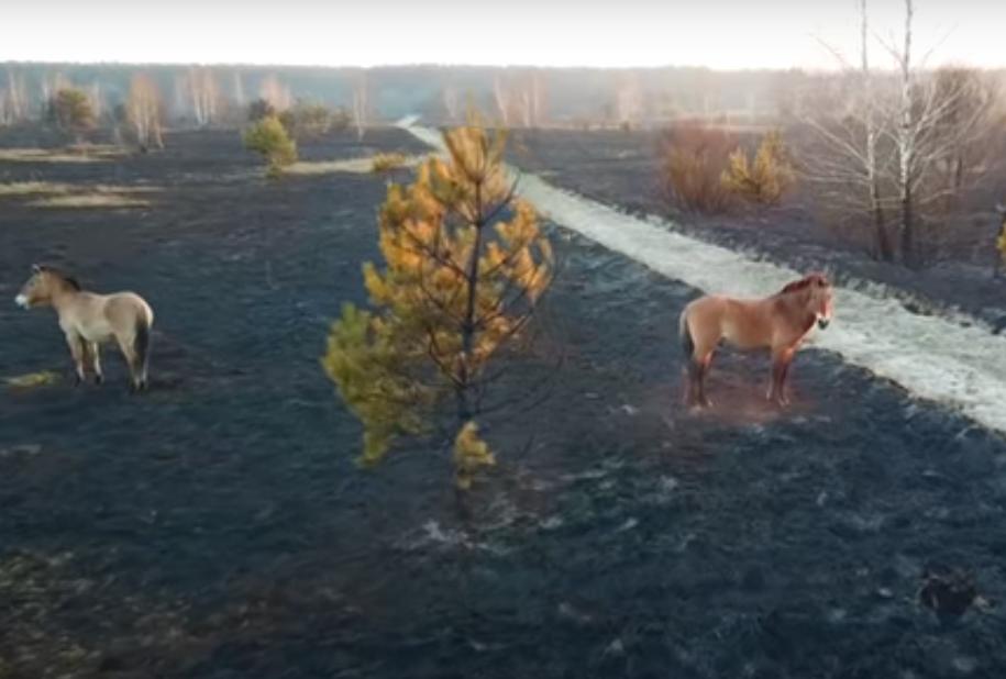 Пожары в Чернобыле: лошади Пржевальского на выгоревшем лугу.Вокруг Света. Украина