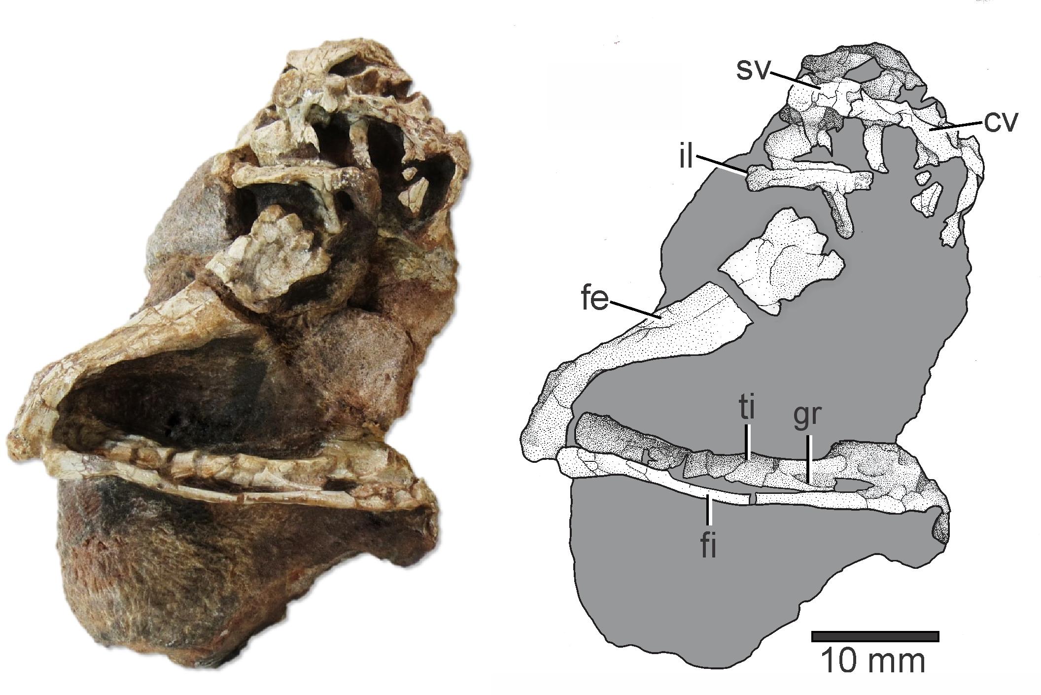 окаменелости рептилии