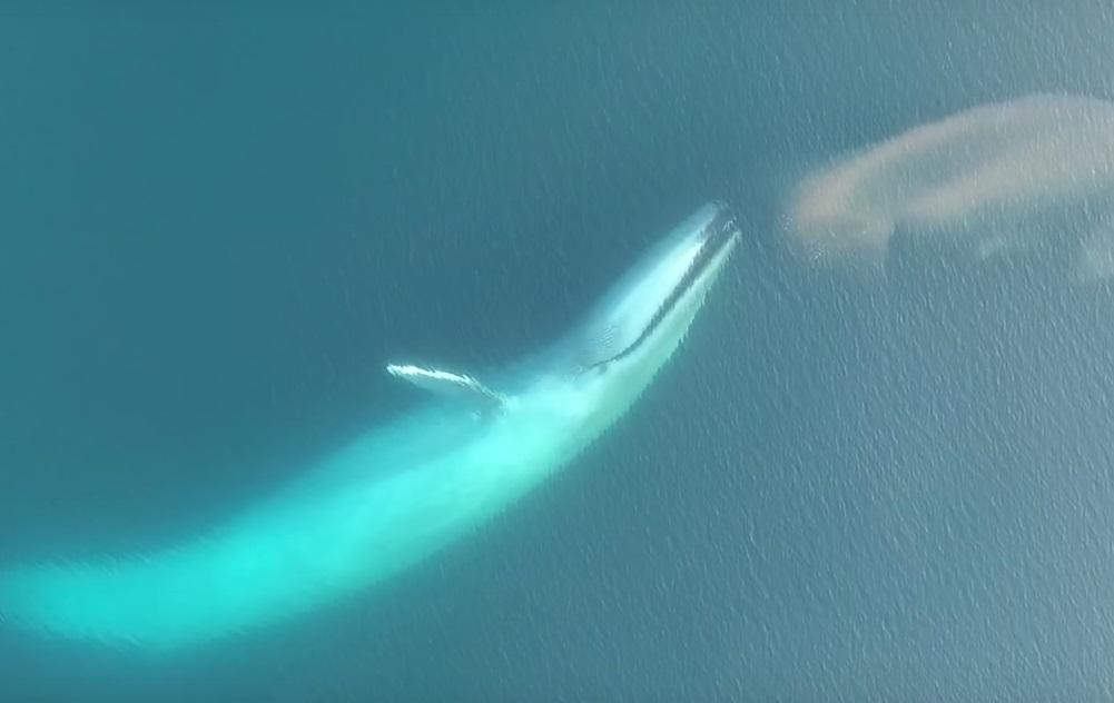 Тонна криля за раз: ученые запечатлели, как кормится синий кит.Вокруг Света. Украина