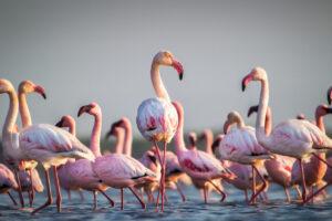 Фламинго заводят дружеские отношения, которые длятся годами