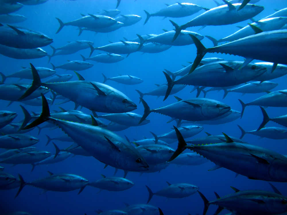 Ученые нашли доказательства, что глубоководные рыбы тоже мигрируют