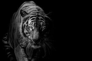 В зоопарке Нью-Йорка тигрица заболела COVID-19