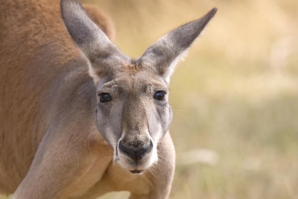 В центре австралийского мегаполиса появились кенгуру