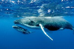 Самка горбатого кита кормит своего детеныша: редкие кадры