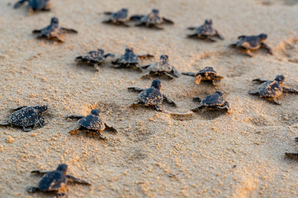 На пляжи Таиланда вернулись редкие черепахи.Вокруг Света. Украина