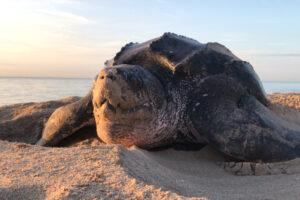 На спасение кожистой черепахи у человека есть всего 10 лет