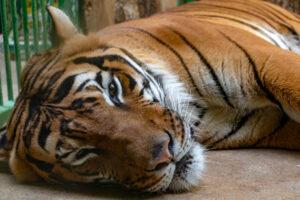 В Нью-Йоркском зоопарке еще семь тигров и львов заболели коронавирусом