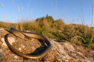 В Австралии нашли ящерицу, которая откладывает яйца и рожает живых детенышей одновременно