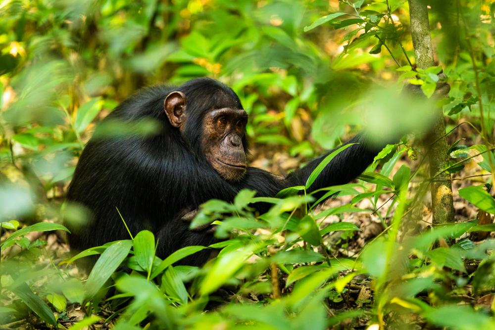 В лесах Нигерии осталось всего 100 шимпанзе