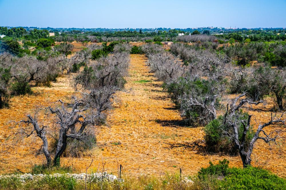 Оливковые деревья Европы губит смертельная болезнь.Вокруг Света. Украина