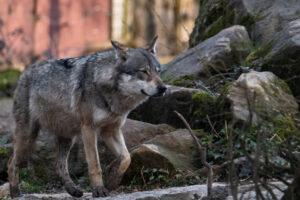 На севере Франции впервые за сто лет заметили волка