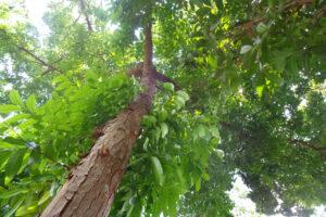 Долгоживущие пионеры: биологи назвали важнейшие деревья