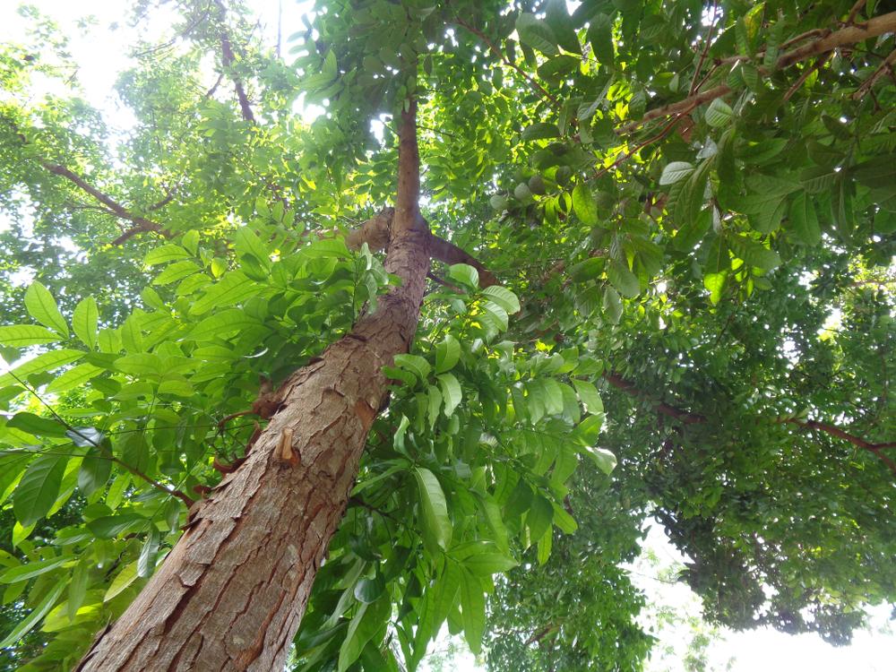 Долгоживущие пионеры: биологи назвали важнейшие деревья.Вокруг Света. Украина
