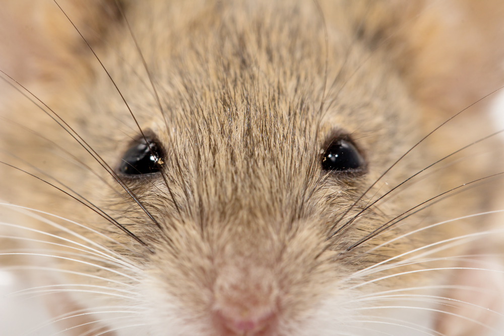 Мыши меняют выражение мордочки в зависимости от настроения