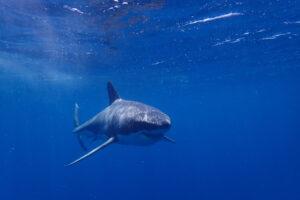Белая акула загадочным образом появилась на радарах спустя год после исчезновения