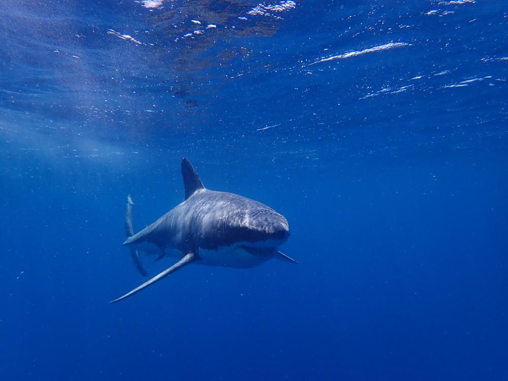 Белая акула загадочным образом появилась на радарах спустя год после исчезновения.Вокруг Света. Украина