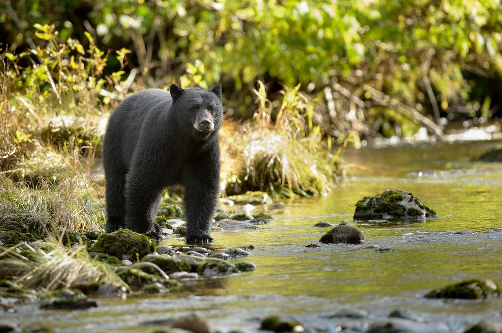 В американском нацпарке количество черных медведей увеличилось в четыре раза.Вокруг Света. Украина