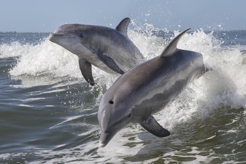 Самцы-дельфины поют дуэтом, чтобы укреплять дружеские связи.Вокруг Света. Украина