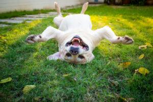 Британский лабрадор прыгает на батуте