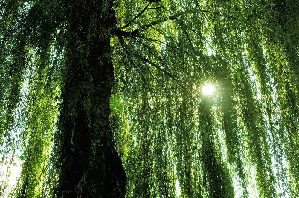 В листьях ивы нашли вещество, убивающее рак