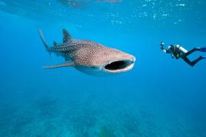 Атомные бомбы помогли узнать возраст китовых акул