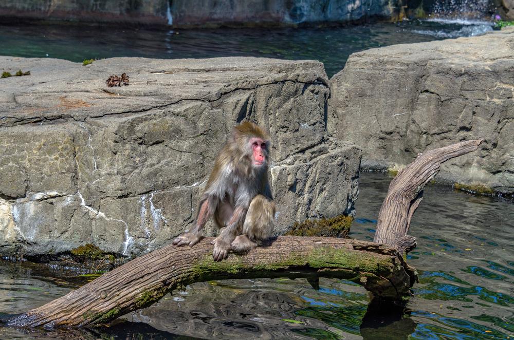 В древности обезьяны пересекли Атлантику