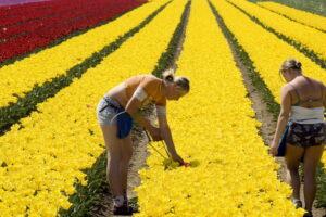 В Нидерландах косят тюльпаны, чтобы разогнать людей