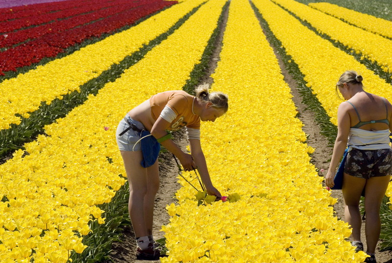В Нидерландах косят тюльпаны, чтобы разогнать людей.Вокруг Света. Украина
