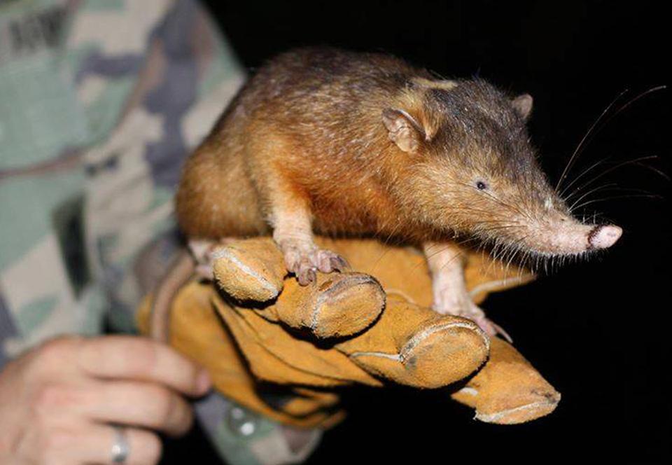 Странные животные подвержены высокому риску вымирания.Вокруг Света. Украина