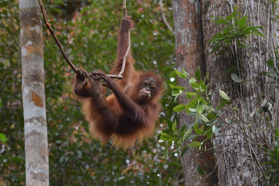 Школа на Борнео учит детенышей орангутанов лазать по деревьям