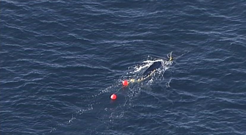 В Австралии дайвер спас китёнка, застрявшего в противоакульей сетке (видео)