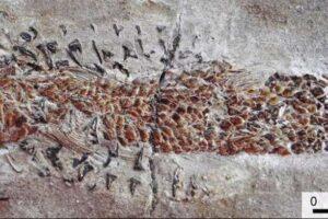 Найдена окаменелость древнего кальмара, подавившегося рыбой