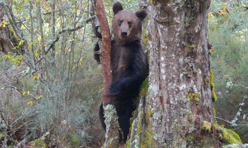 На северо-западе Испании впервые за 150 лет появился бурый медведь