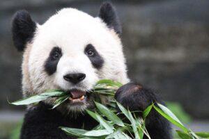 Канадский зоопарк вернет панд Китаю: их нечем кормить