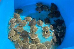 В Камбодже возрождается популяция редких королевских черепах