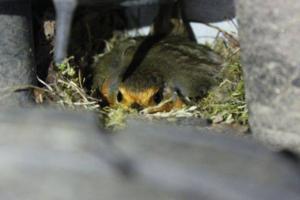 Британец нашел гнездо малиновки в колесной арке своего авто