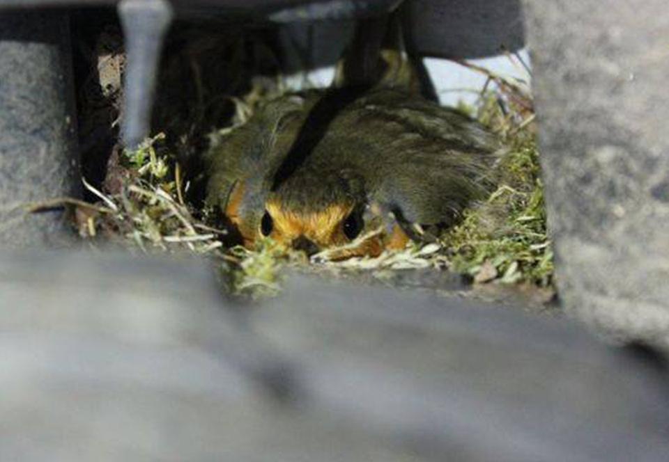 Британец нашел гнездо малиновки в колесной арке своего авто.Вокруг Света. Украина